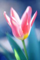 チューリップ 20026004716| 写真素材・ストックフォト・画像・イラスト素材|アマナイメージズ