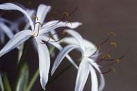 Crinum -  Crinum Lily