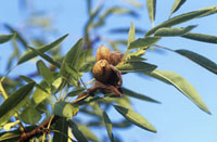 Prunus Dulcis,Almond