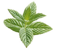 Mentha Spicata,Mint - Spearmint 20026005017| 写真素材・ストックフォト・画像・イラスト素材|アマナイメージズ