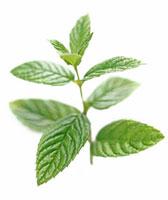 Mentha Spicata,Mint - Spearmint 20026005018| 写真素材・ストックフォト・画像・イラスト素材|アマナイメージズ