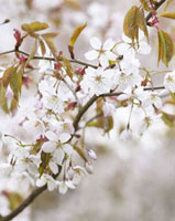 Prunus -  Cherry