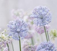 Allium Caesium,Allium - Blue Allium