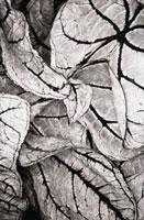 Begonia -  Begonia