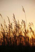 Phragmites - Norfolk Reeds,Reeds,Sedge