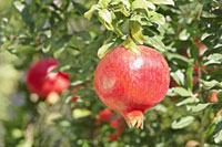 Punica -  Pomegranate