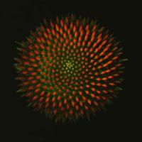 Echinacea -  Echinacea,Purple Coneflower