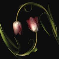 Tulipa -  Tulip 20026005156| 写真素材・ストックフォト・画像・イラスト素材|アマナイメージズ