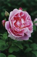"""Rosa 'cottage Rose"""",Rose"""