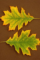 Quercus Rubra,Oak - Red Oak