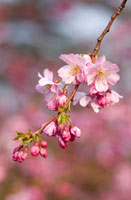 Prunus �eaccolade�f�CCherry