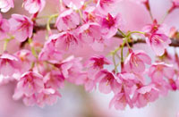 Prunus 'kursar',Cherry
