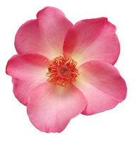 Rose 20026005255| 写真素材・ストックフォト・画像・イラスト素材|アマナイメージズ