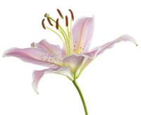 Lilium'Star Gazer',Lily