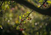 Cherry - Wild Cherry