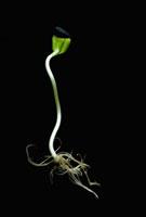 Helianthus annus,Sunflower