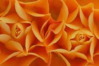 Rose 20026005377| 写真素材・ストックフォト・画像・イラスト素材|アマナイメージズ
