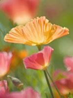 Poppy - Californian poppy