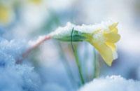 Primula vulgaris,Primrose