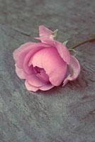 Rosa 'La Reine Victoria',Rose