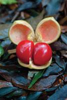 Diploglottis campbellii,Tamarind-Small -leaved Tamarind