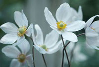 Anemone japonica- variety not identified