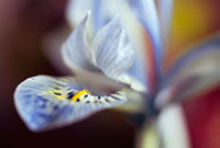Iris histrioides 'Katharine Hodgkin',Iris