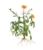 Calendula officinalis,Marigold