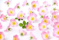 Rosa rubiginosa,Rose