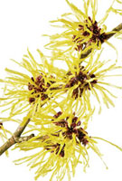 Hamamelis-variety not identified,Witch hazel