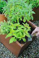 Salvia officinalis 'Icterina',Sage