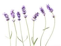 Lavandula augustifolia,Lavender 20026005706| 写真素材・ストックフォト・画像・イラスト素材|アマナイメージズ