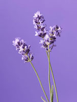 Lavandula augustifolia,Lavender 20026005708| 写真素材・ストックフォト・画像・イラスト素材|アマナイメージズ