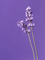 Lavandula augustifolia,Lavender 20026005709| 写真素材・ストックフォト・画像・イラスト素材|アマナイメージズ