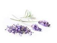 Lavandula augustifolia,Lavender
