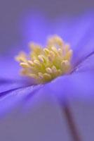 Anemone blanda 'Atrocaerulea',Anemone