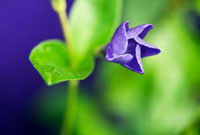 Vinca major,Periwinkle