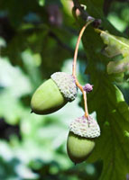 Quercus-variety not identified,Oak-Acorn