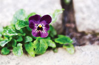 Viola 'Ruby Gold',Viola