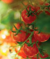Lycopersicon esculentum,Tomato
