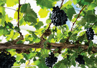 Vitis vinifera,Grapevine