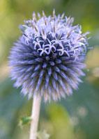Echinops bannaticus 'Taplow blue',Globe thistle