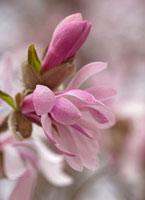 Magnolia x loebneri 'Leonard Messel',Magnolia