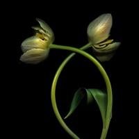 Tulipa - variety not identified, Tulip 20026005935| 写真素材・ストックフォト・画像・イラスト素材|アマナイメージズ