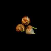 Tulipa 'Mickey mouse', Tulip 20026005937| 写真素材・ストックフォト・画像・イラスト素材|アマナイメージズ