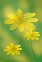 Ranunculus ficaria, Celandine