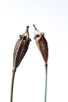 Meconopsis cambrica, Poppy - Welsh poppy