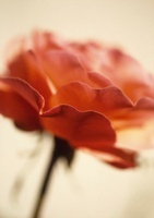 Rosa 'Queen Elizabeth', Rose