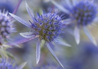 Eryngium tripartitum, Sea holly