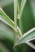 Phalaris arundinacea 'Picta', Gardener's garters
